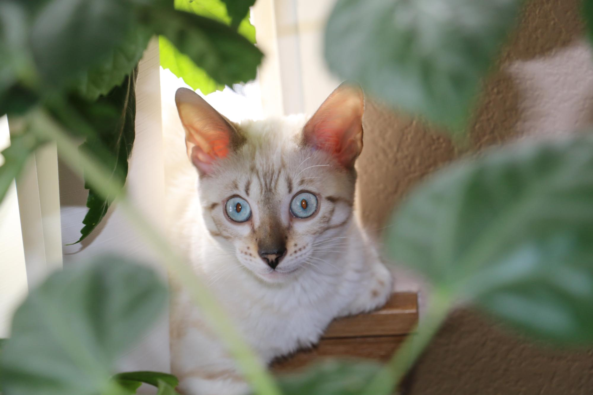 savannah, bengal, kittens, bengal for sale, kittens for sale