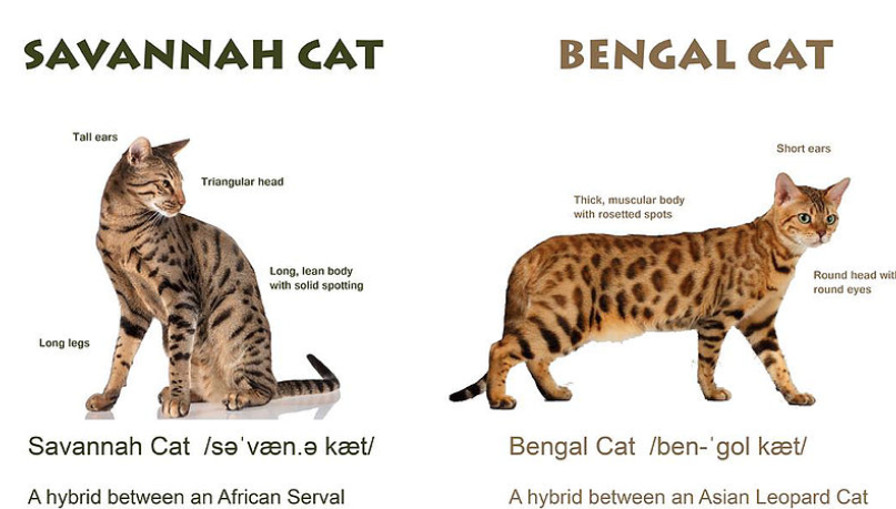 How To Breed Savannah Cats